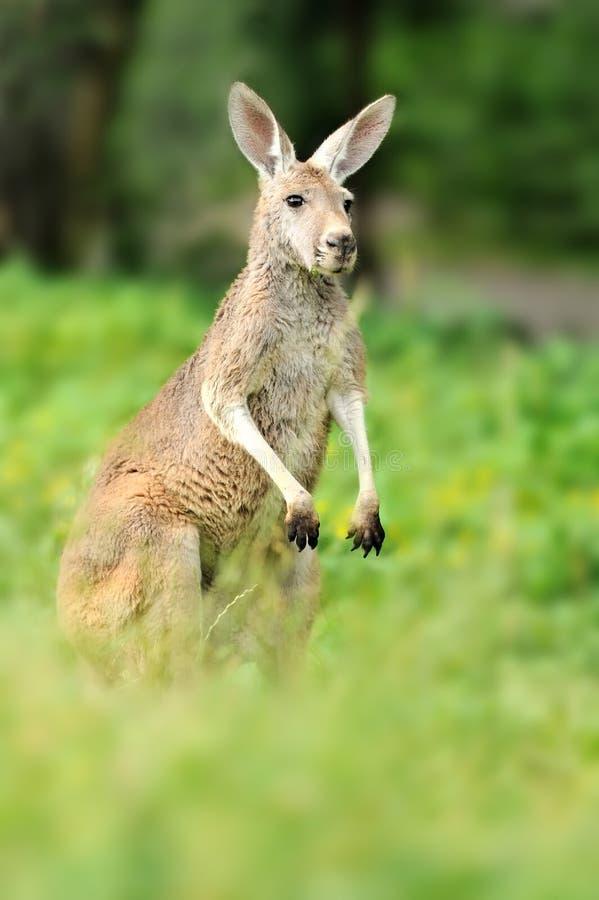 Känguru Lizenzfreies Stockbild