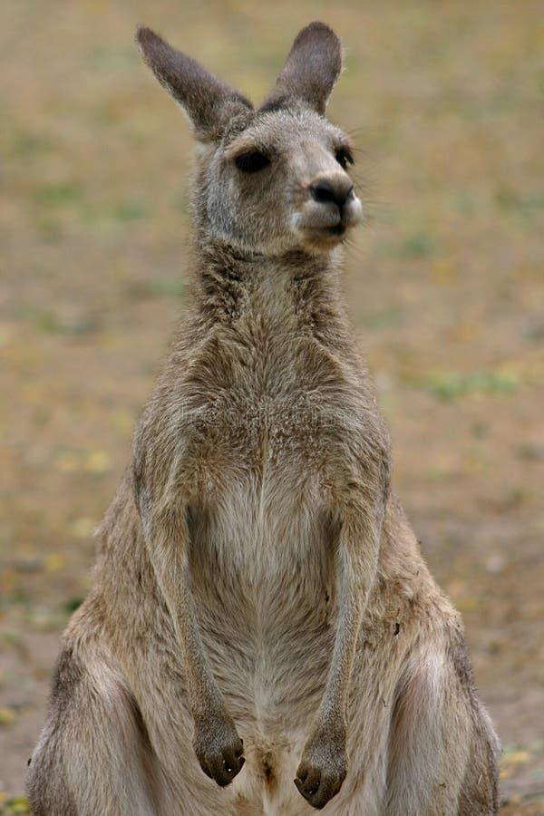 Känguru #3 Lizenzfreie Stockfotos