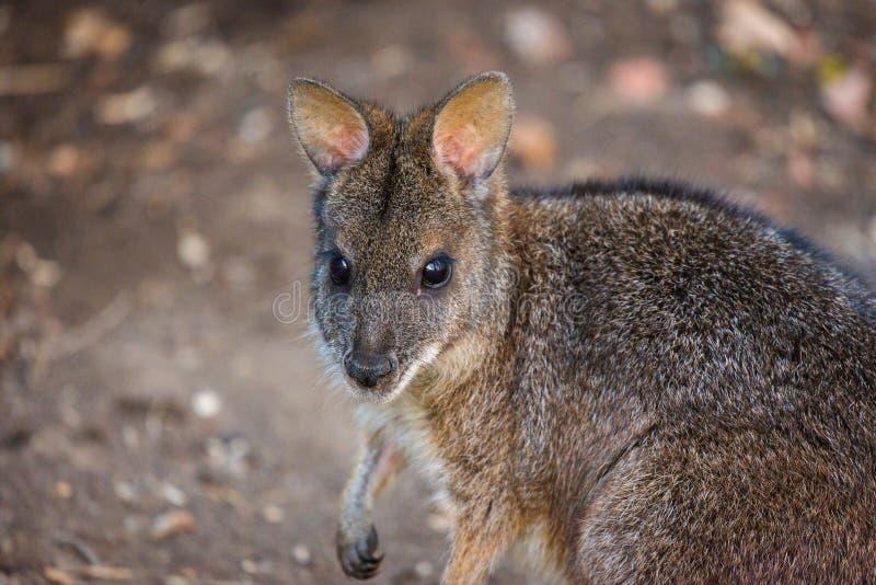 Känguru Bennett' s eller Dendrolagusbennettianus på jordning arkivbild