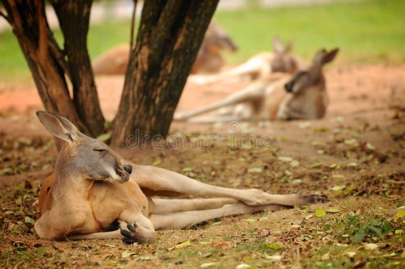 Känguru, der auf der Wiese im Zoo liegt stockfotografie