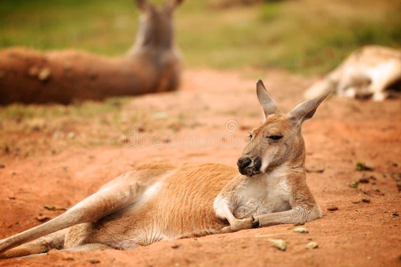 Känguru, der auf der Wiese im Zoo liegt lizenzfreie stockfotografie