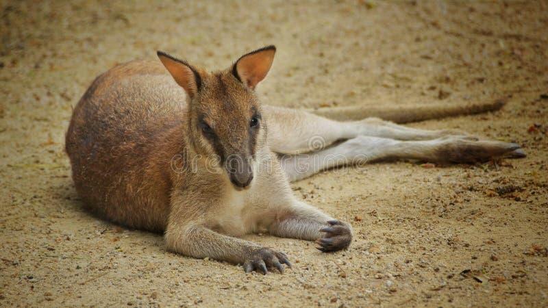 Känguru, der auf der Schmutzgrundfläche sich entspannt stockfotos