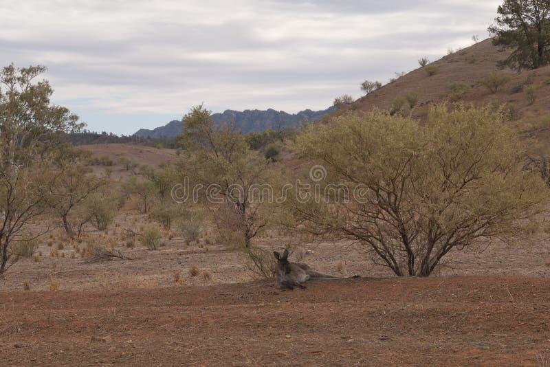 Känguru, der unter einem Busch sich entspannt stockfotografie