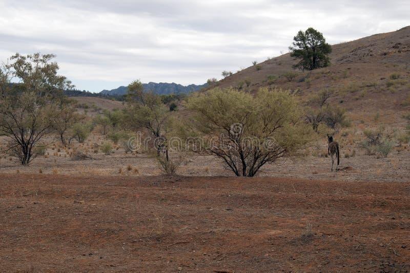 Känguru, der weg in den Busch hüpft stockbild