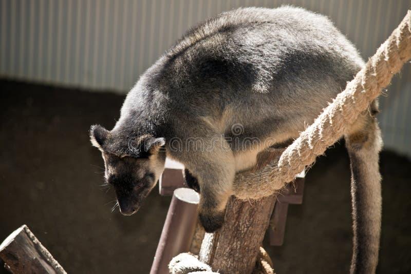 Känguru för träd för Lumholtz ` s fotografering för bildbyråer