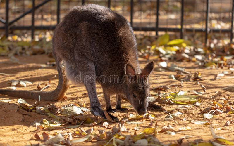 Känguru im Park im Herbst stockbilder