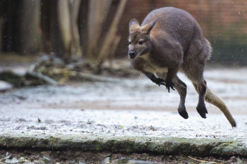 Känguru, medan hoppa under regnet royaltyfria foton