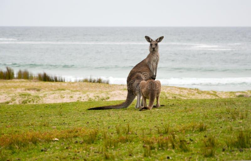 Känguru mit joey auf einem Strand stockfotografie