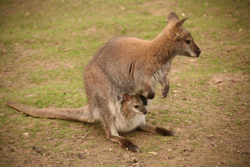 Känguru mit Schätzchen stockbild