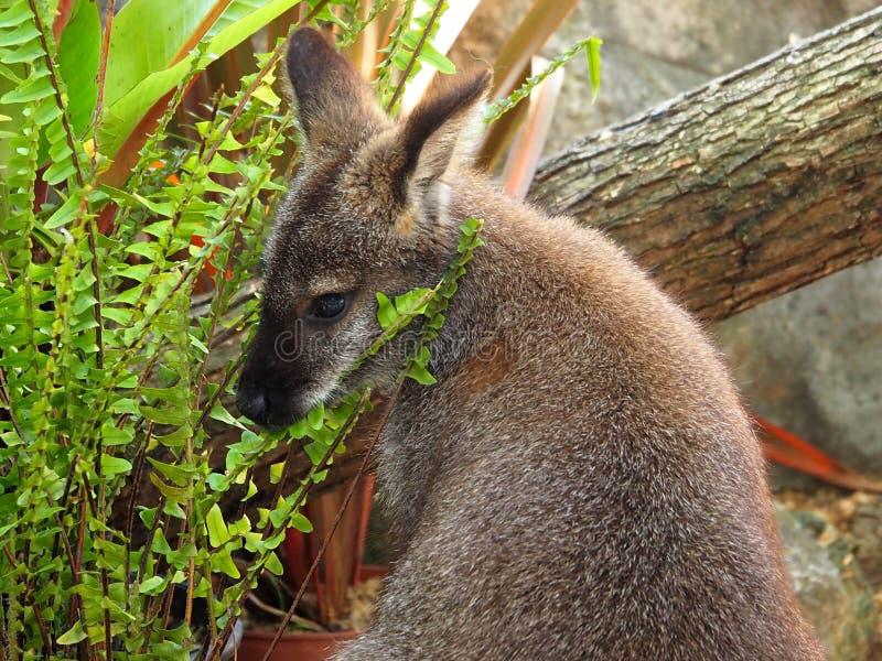 Känguru-oder Macropus-Spezies, die Farne essen lizenzfreie stockbilder