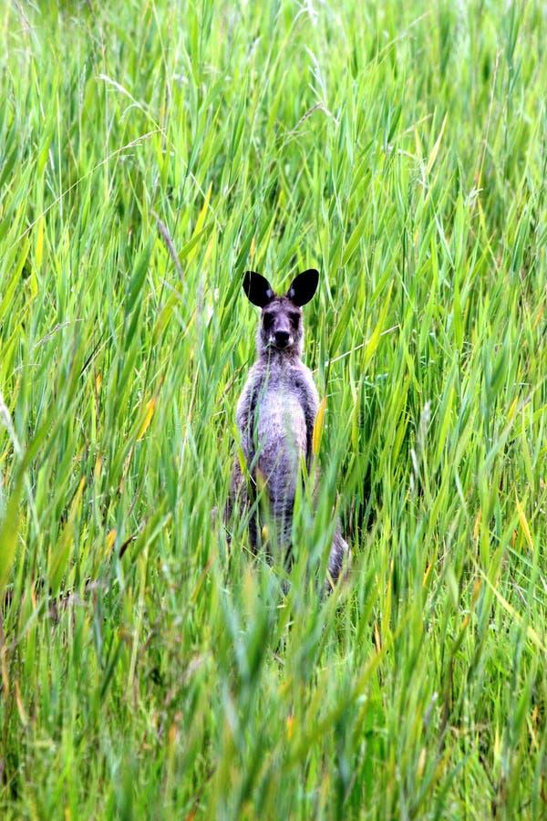 Känguru på solskenkusten royaltyfria bilder