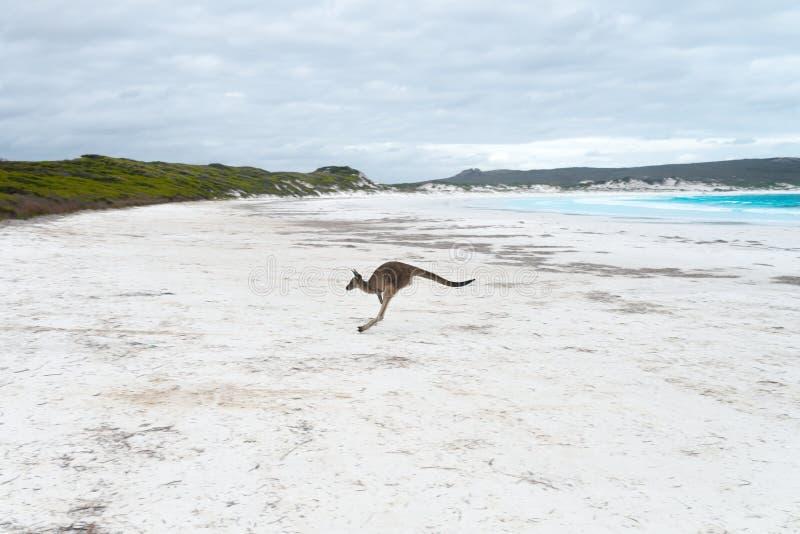 Känguru på stranden arkivbilder