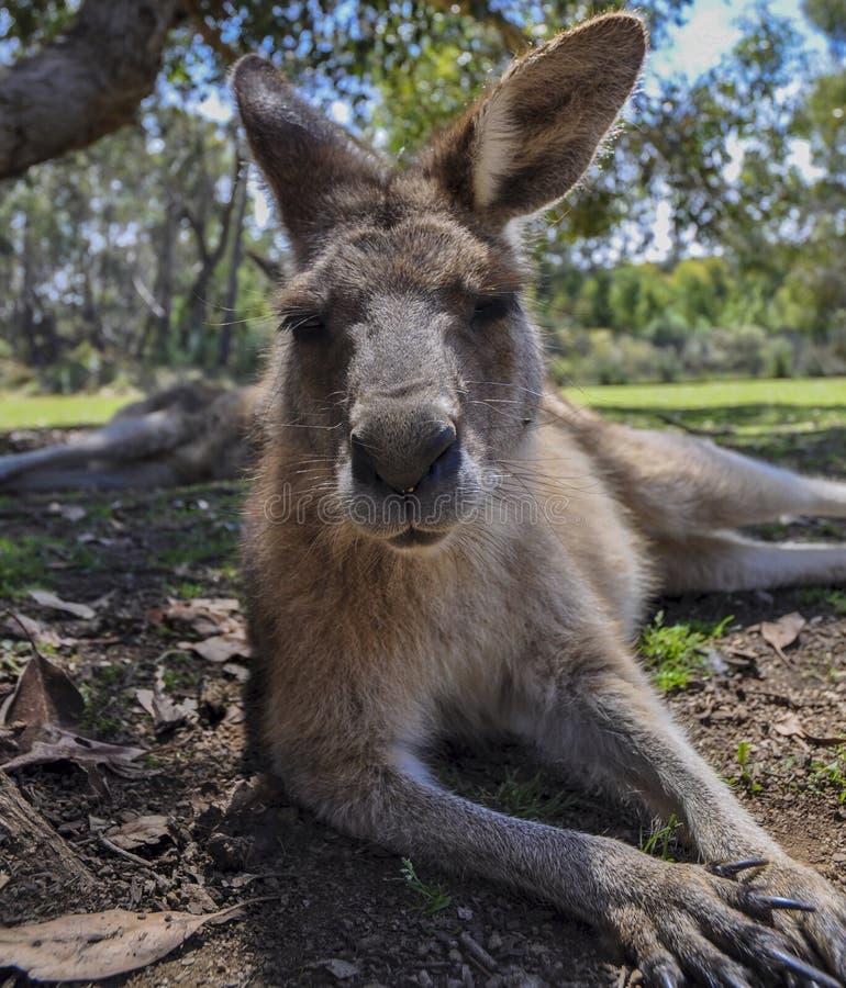 Känguru in Tasmanien lizenzfreies stockfoto