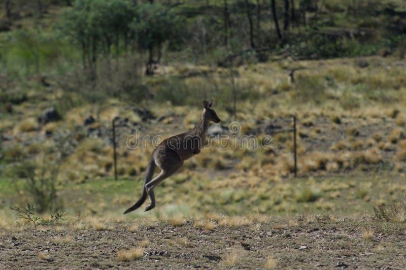 Kängurubanhoppning i vildmarken av Canberra royaltyfria bilder
