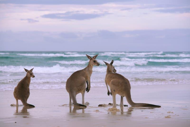 Kängurufamilie auf dem Strand stockbild