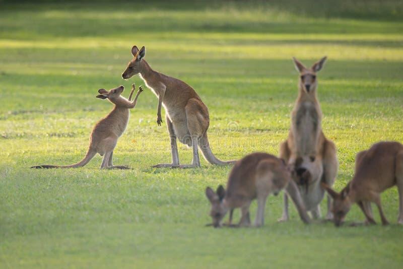 Kängurufamilj med mamman och känguruunge arkivfoto