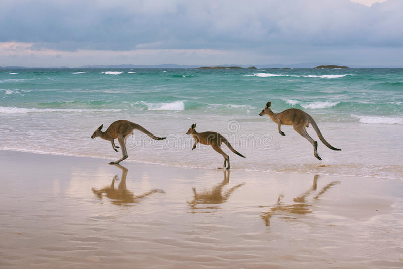Kängurufamilj på stranden royaltyfria bilder