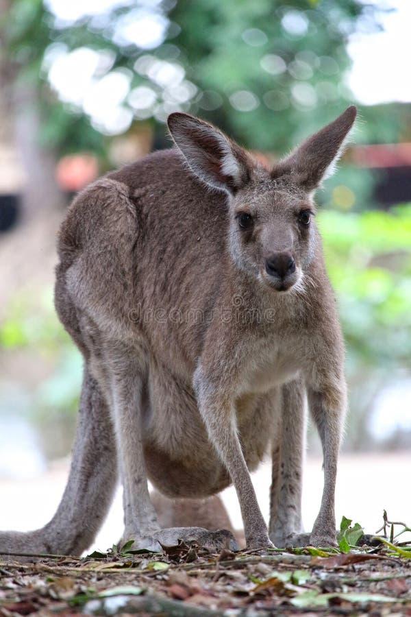 känguruh lizenzfreie stockfotografie