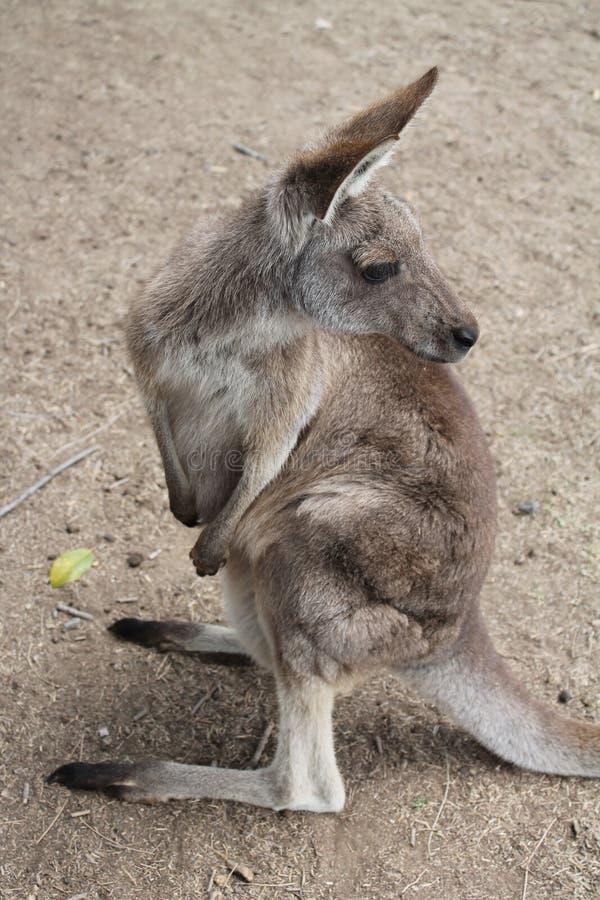 känguruh stockbild