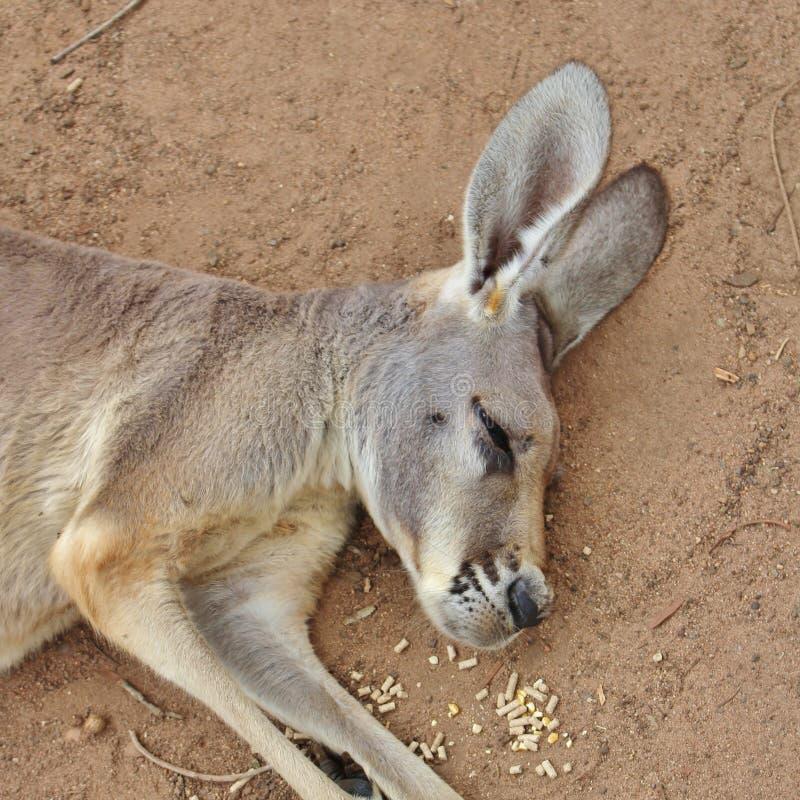 känguruh lizenzfreie stockbilder