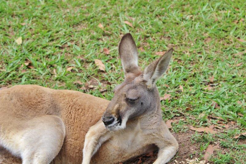 känguruh lizenzfreies stockfoto