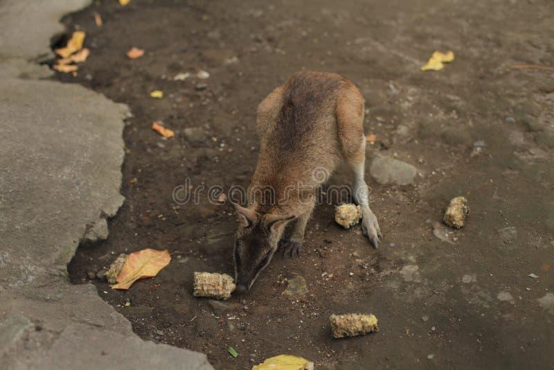 känguruhs stockfotografie