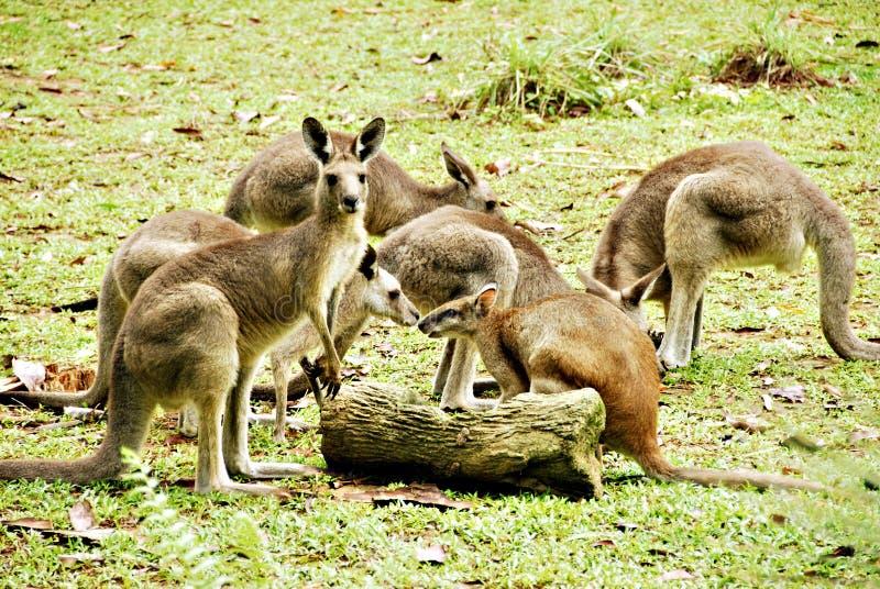 kängurur arkivfoto