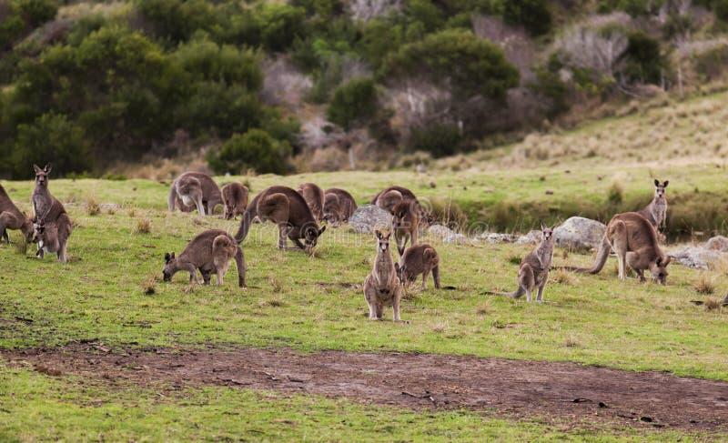 Kängurus bei Sonnenuntergang Nationalpark Eurobodalla australien stockfotos