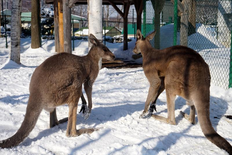 Kängurus im Schnee in Zoo Sapporos Maruyama, Hokkaido Japan lizenzfreies stockbild