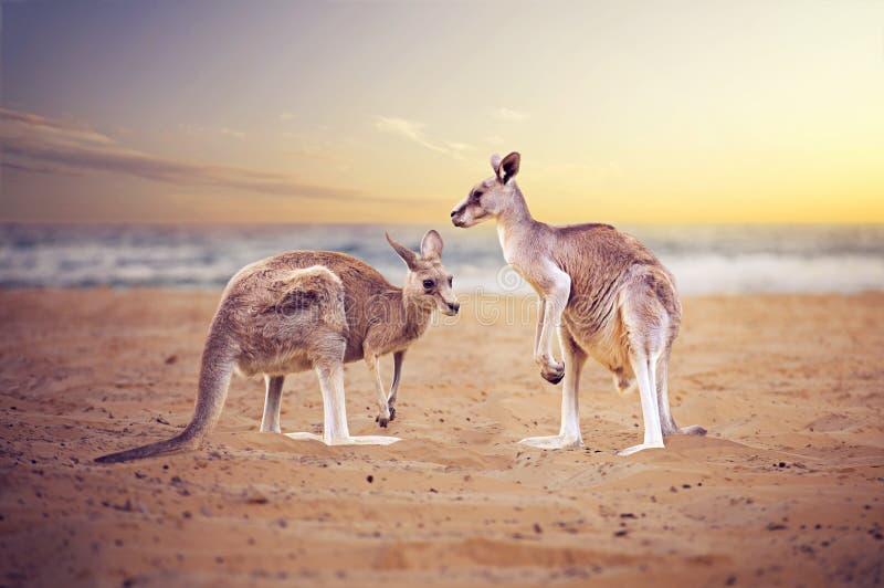 Kängurus am Strand stockfotos
