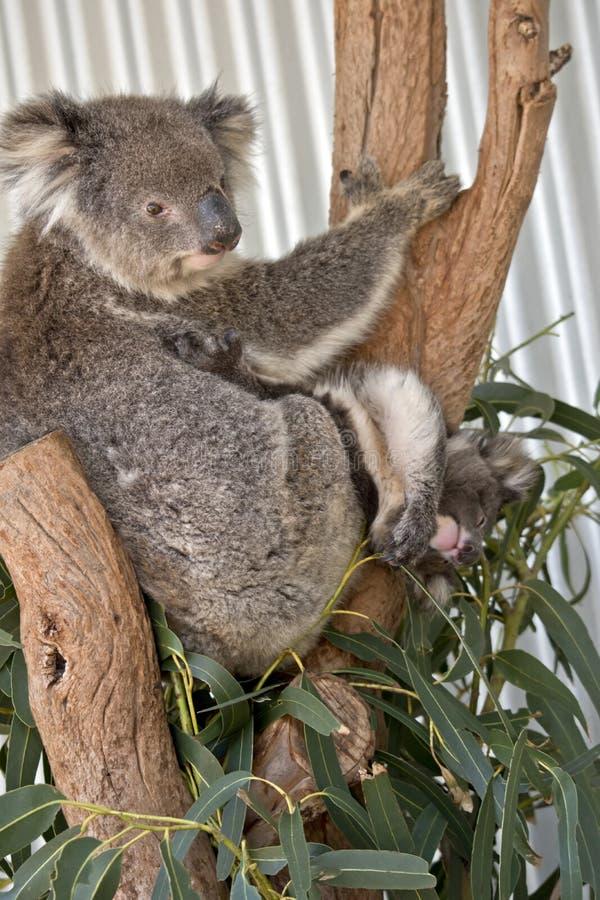 känguruunge koala fotografering för bildbyråer