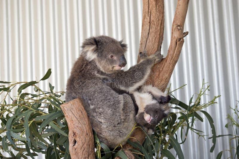 känguruunge koala arkivfoton