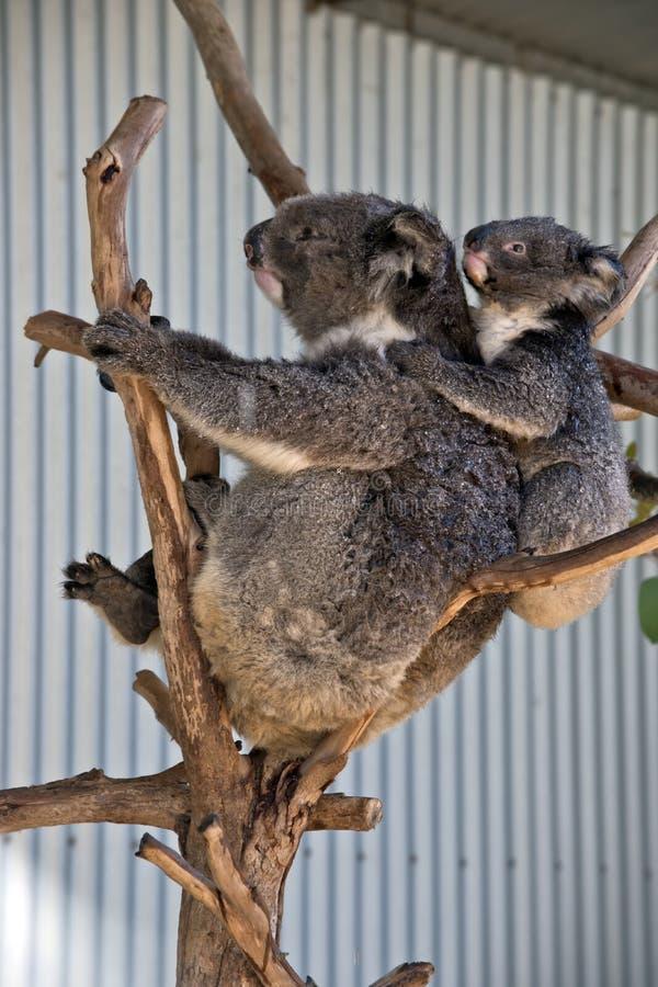 känguruunge koala arkivfoto