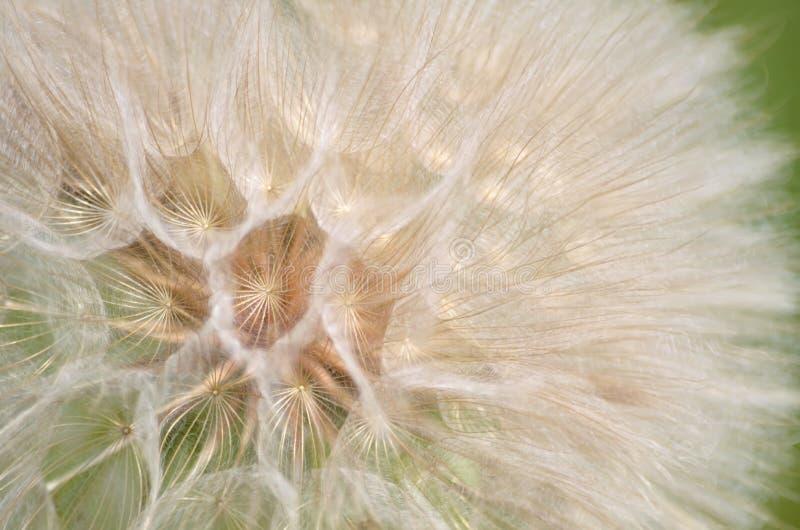 Kärna ur huvudet av dubiusen för den gula haverroten eller tragopogon arkivbilder