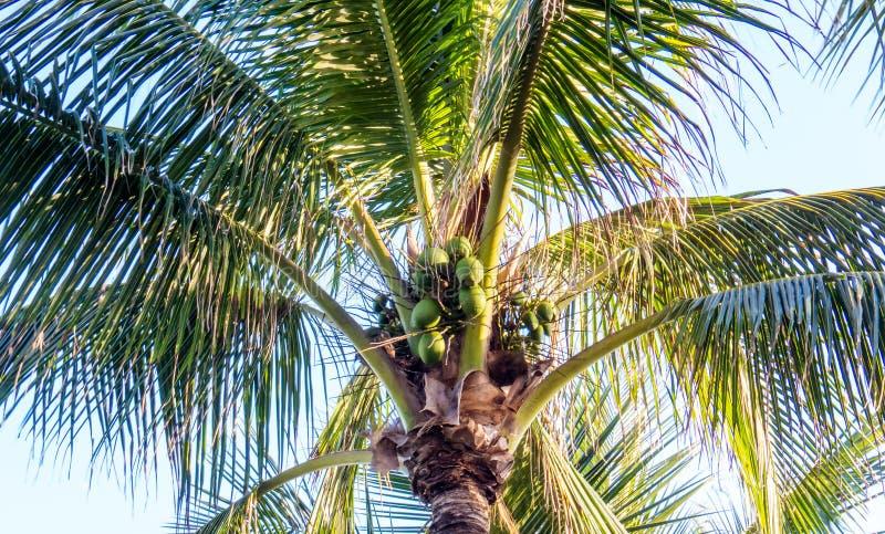 Kärnadel av en sund palmträd i det ljusa solljuset arkivfoton