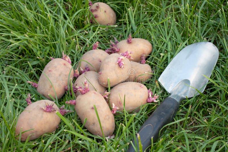 kärnar ur den liggande potatisen för gräs royaltyfria foton