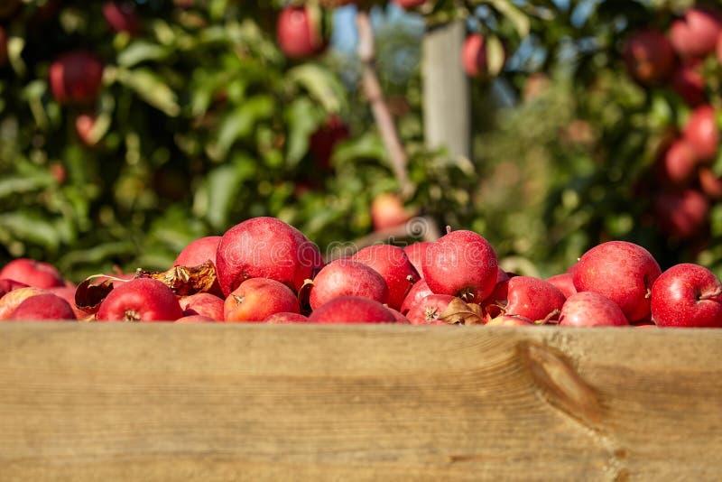 Kästen Äpfel im Obstgarten stockbilder