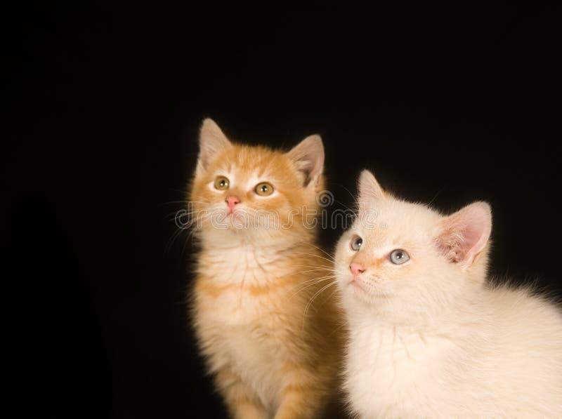 Kätzchen auf einem schwarzen Hintergrund stockfotos