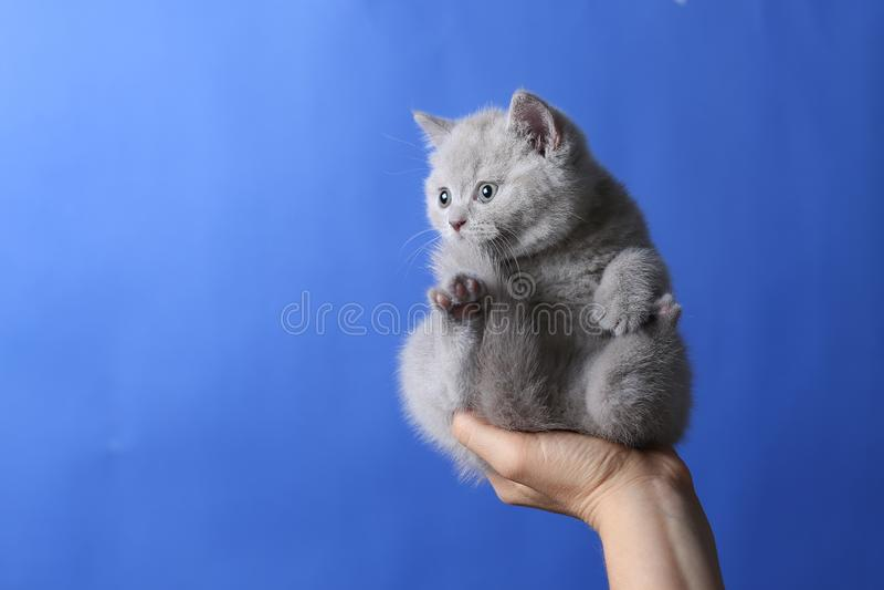 Kätzchen in der Frauenhand, Britisch Kurzhaar lizenzfreie stockbilder