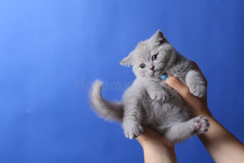 Kätzchen in der Frauenhand, Britisch Kurzhaar stockfotos