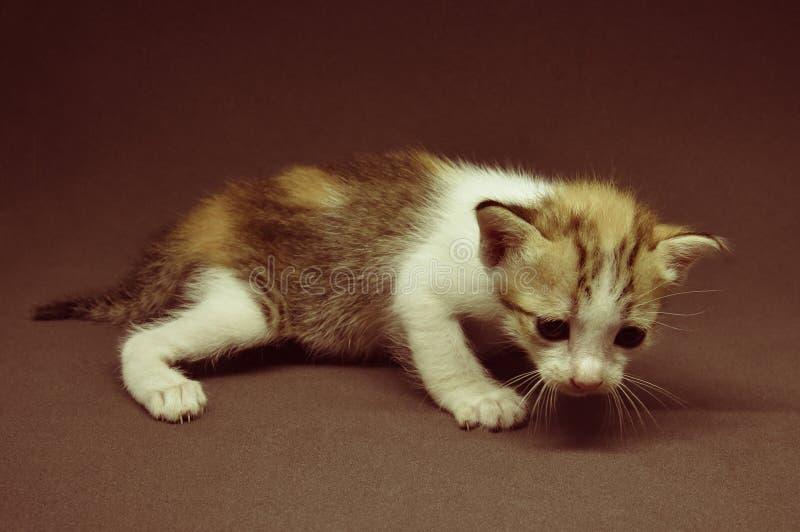 Kätzchen der getigerten Katze lizenzfreie stockfotos
