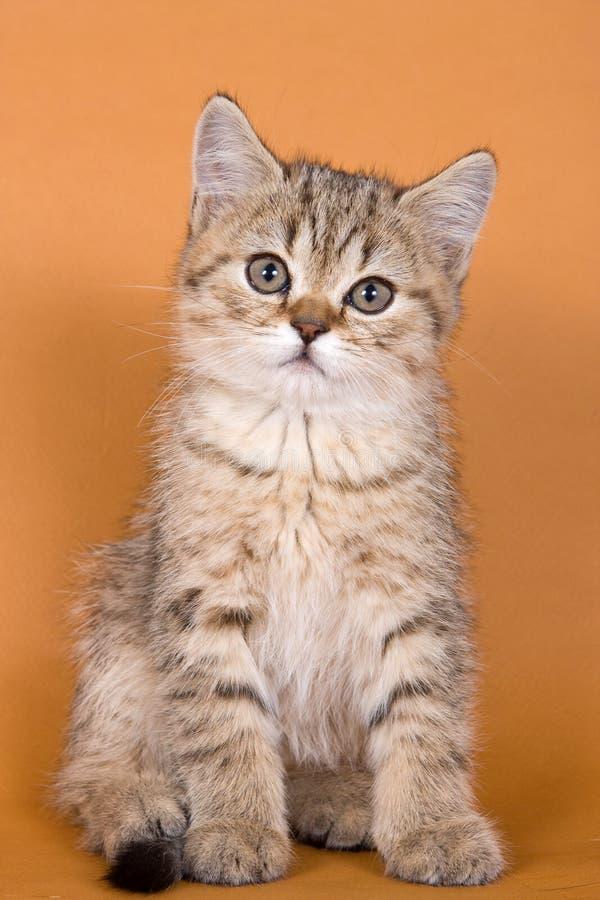 Kätzchen der getigerten Katze auf einer Orange stockfoto