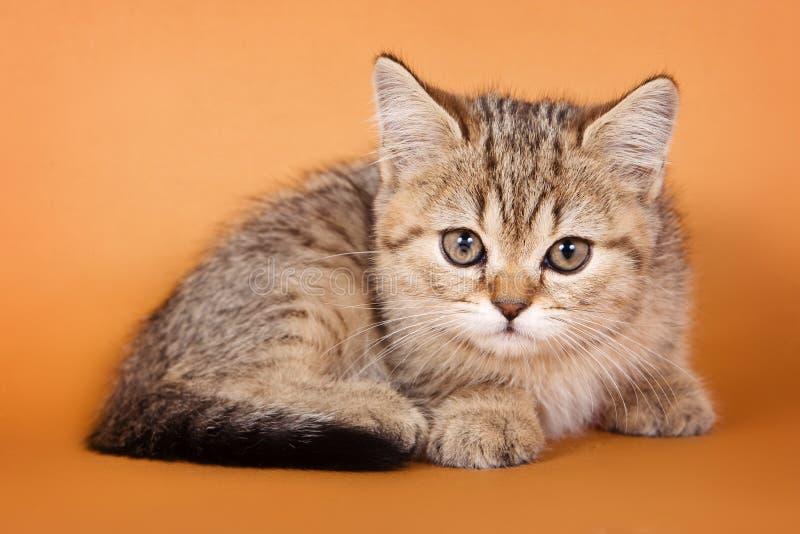 Kätzchen der getigerten Katze auf einer Orange stockfotografie