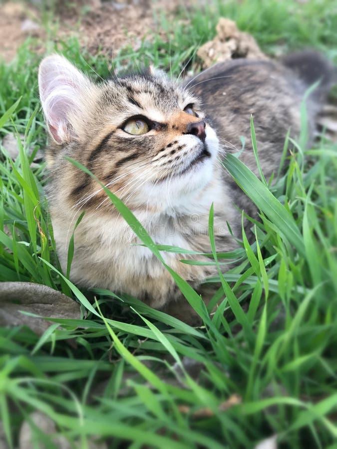Kätzchen der getigerten Katze, das im Gras spielt lizenzfreie stockbilder