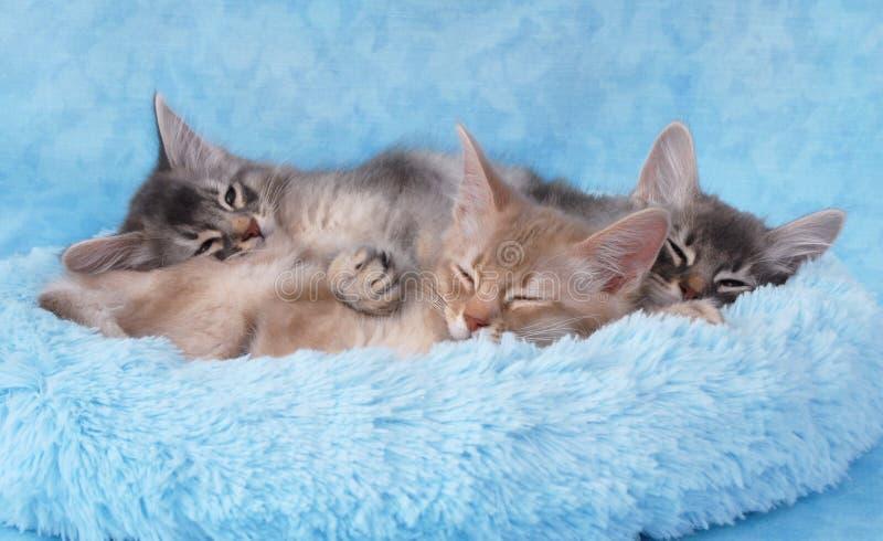 Kätzchen, die in einem blauen Bett schlafen lizenzfreie stockbilder
