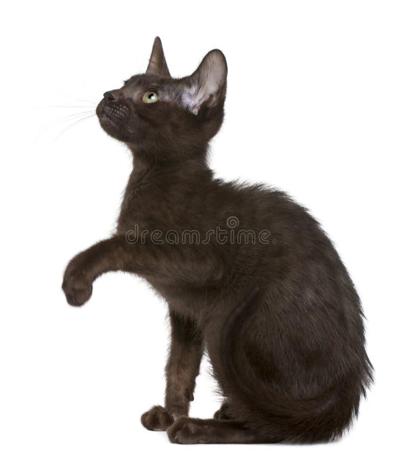 Kätzchen Havana-Brown, 15 Wochen alt, oben schauend stockbilder