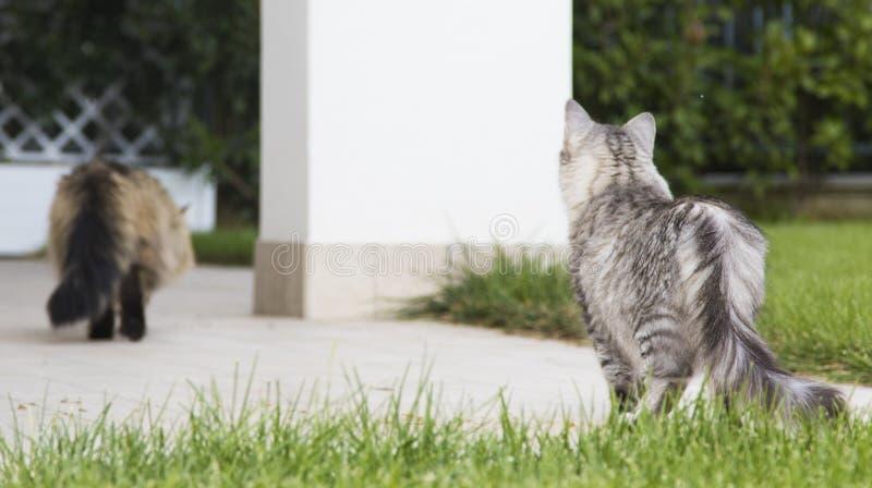 Kätzchen im Freien, sibirisches weibliches Silber und brauner Mann Katzengehen lizenzfreies stockbild