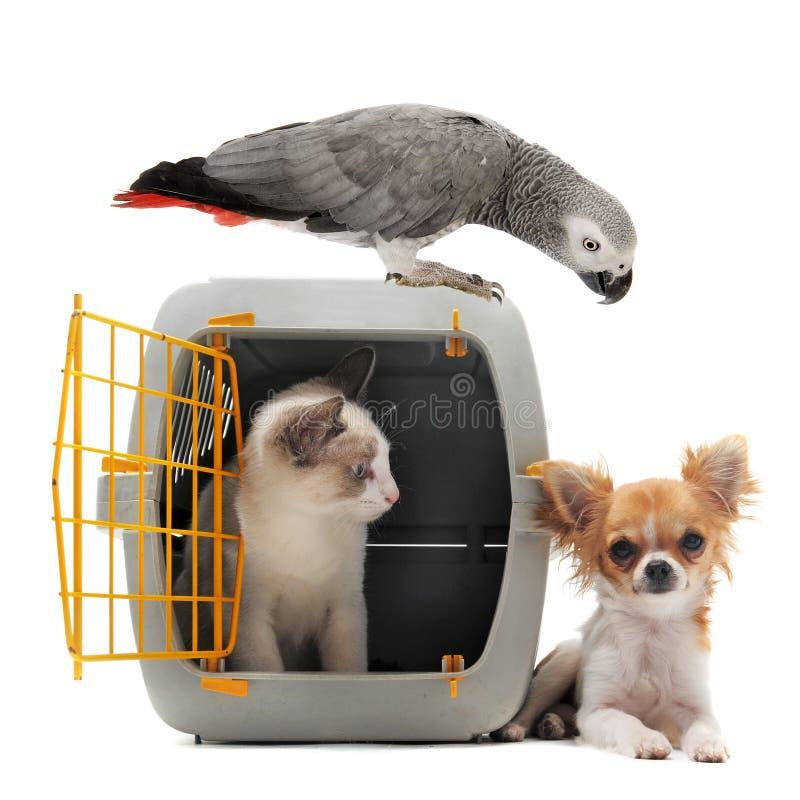 Kätzchen im Haustierträger, -papageien und -Chihuahua stockfotos