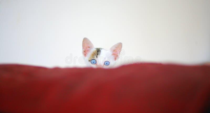 Kätzchen mit blauen Augen lizenzfreies stockbild