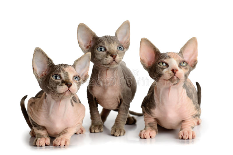 Kätzchen mit drei Sphinxen lizenzfreies stockbild